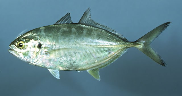 Malta fishing forum sawrella imperjali denbha iswed for Blue runner fish